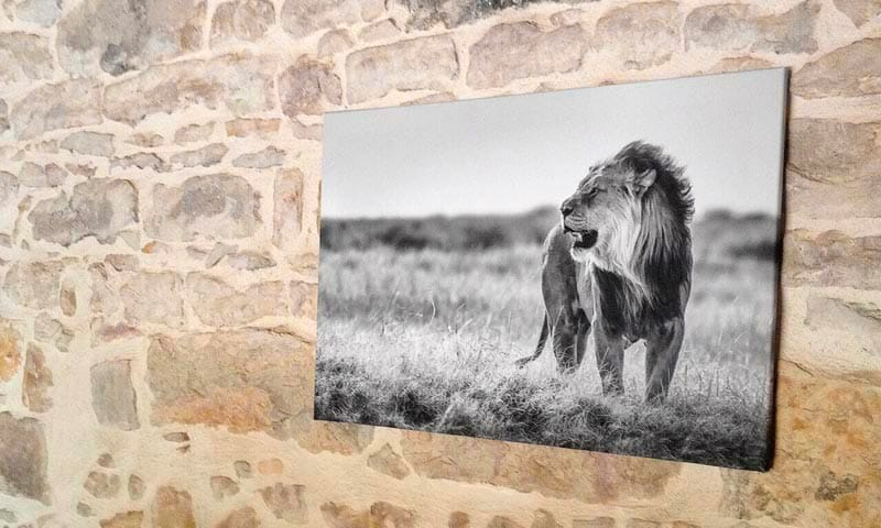 African lion canvas limited photo print hanging on a wall