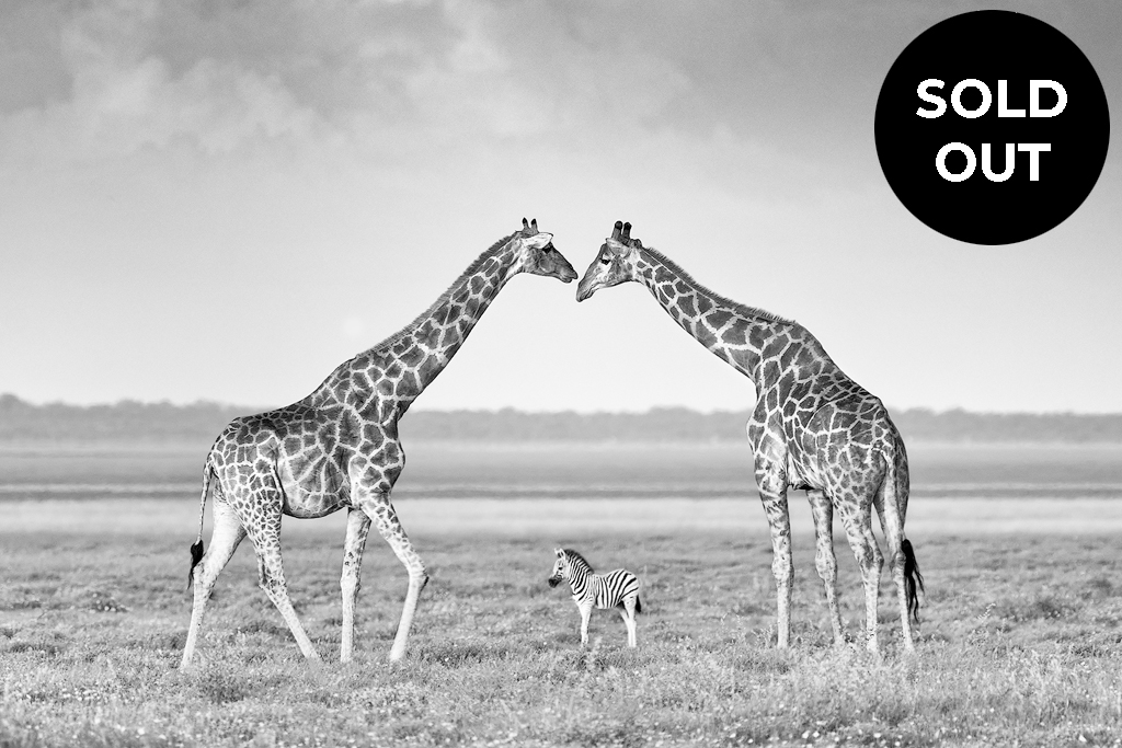 Limited edition wildlife print in black & white of two giraffes creating an archway for a zebra foal