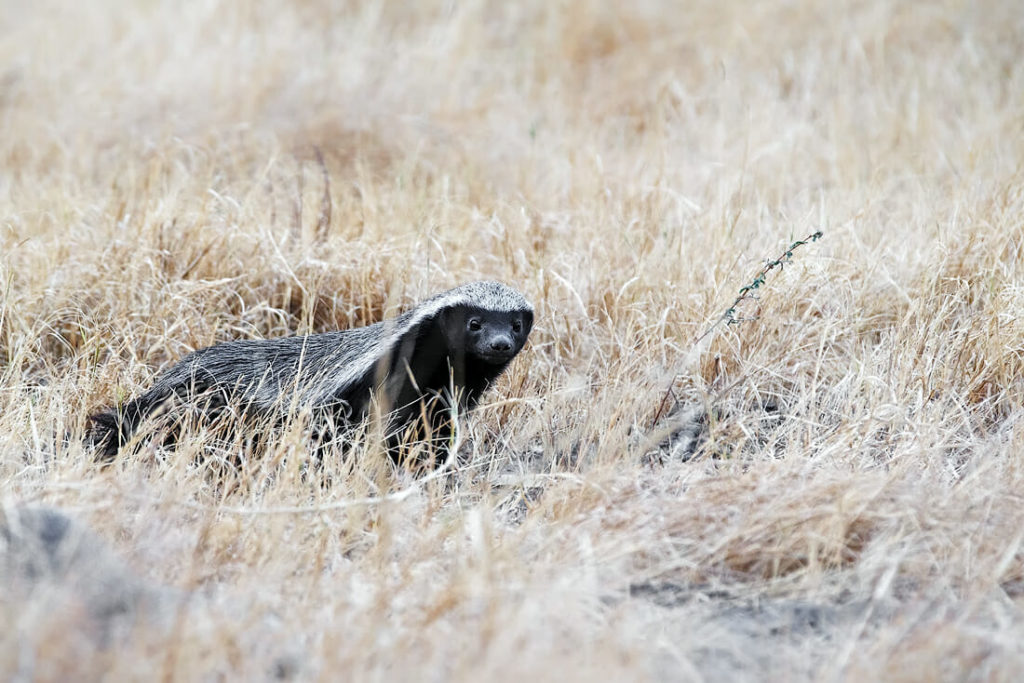 Honeybadger walking in the grass, it is black with a white back stipe fur from the head to the end of the tail on top. One of the most elusive animals in Africa