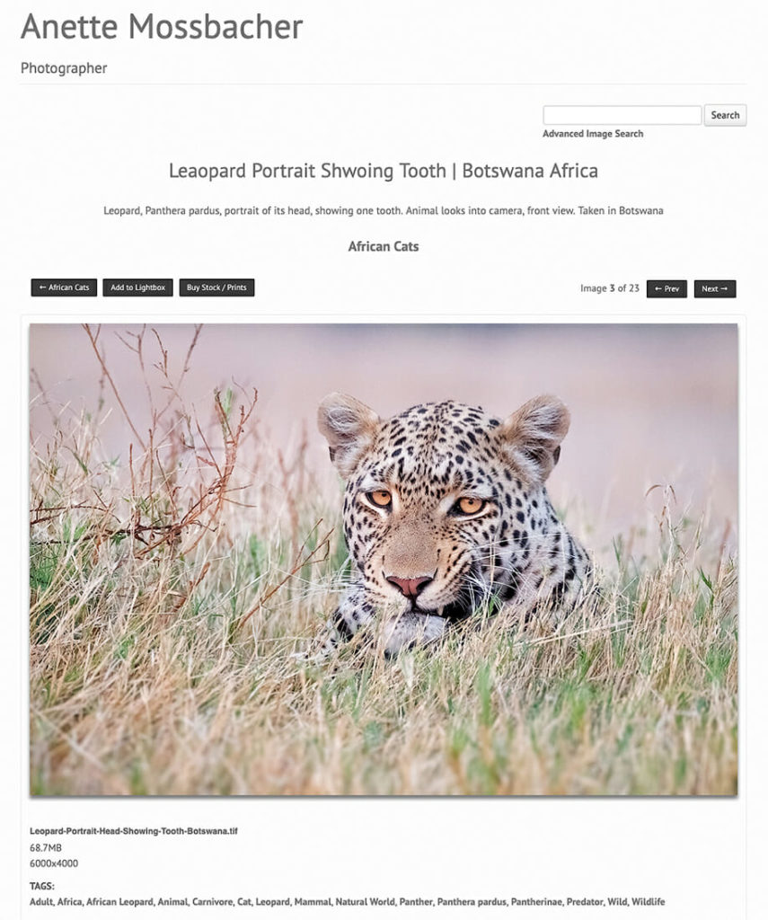 Leopard portrait for WordPress Website PhotoShelter Integration, animal looks straight into your eyes showing a tooth