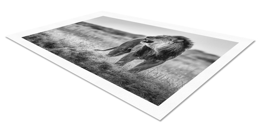 Lion limited edition photo print on fine art paper flat on white background