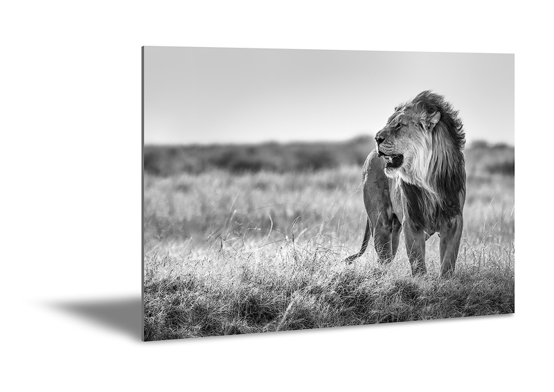 Metal print of black and white lion wildlife photography.