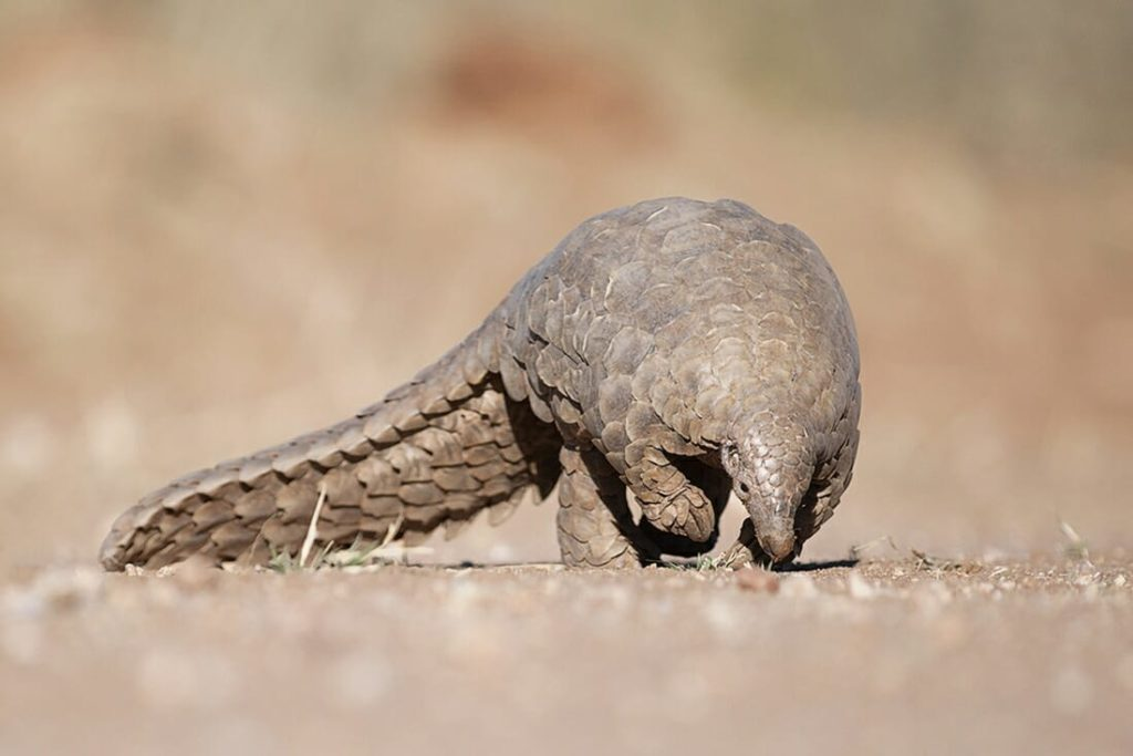 Pangolin searching for ants on the ground, this is one of the Elusive Animals in Africa in full size