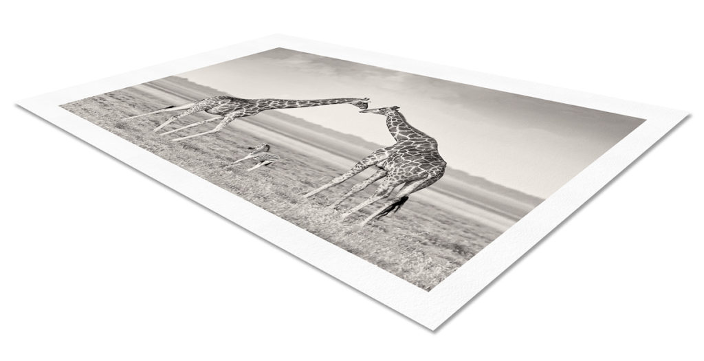 Photo print on paper of two giraffes creating an archway for a zebra foal.