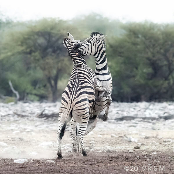 Zebras fighting, both standing up. Client of workshop photograph for client testimonial