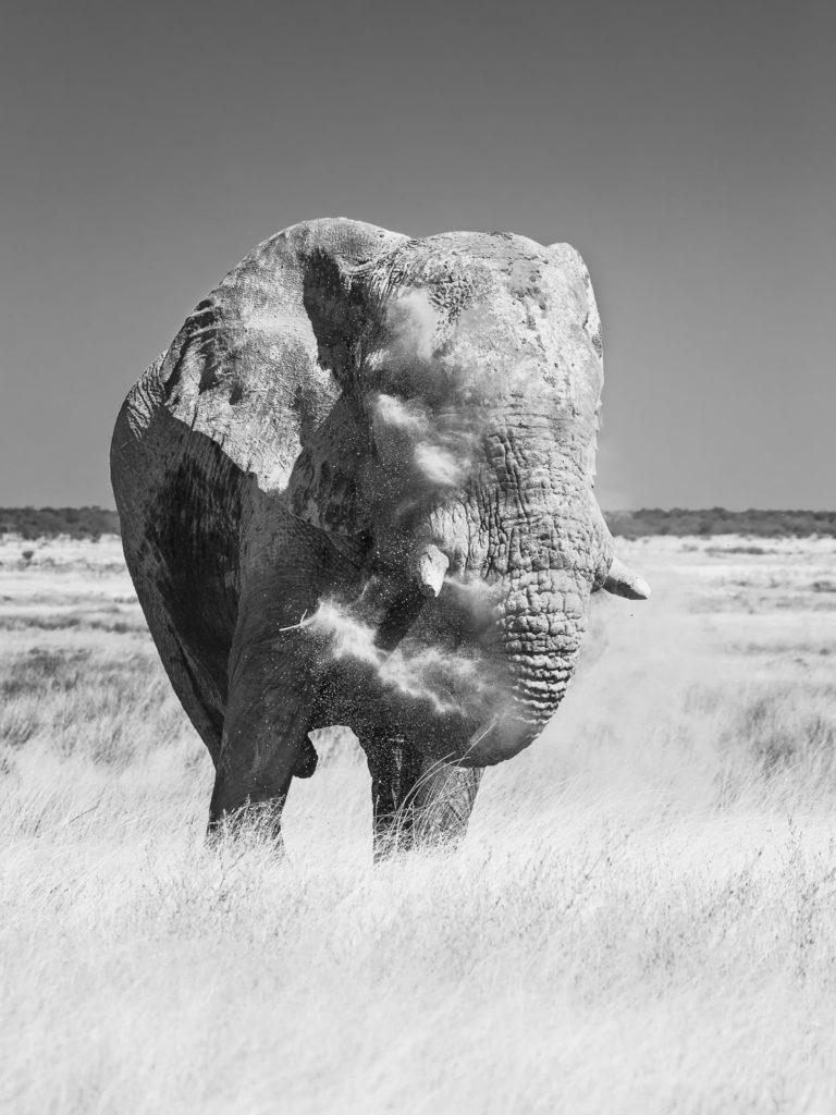 An African Elephant bull B&W Wildlife Fine Art Photograph. Elephant bull blows dust on his forehead. (copyright Anette Mossbacher)