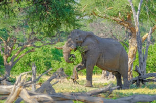 An African elephant photograph in color shows how that elephant bull is eating a tree branch. (copyright Anette Mossbacher)