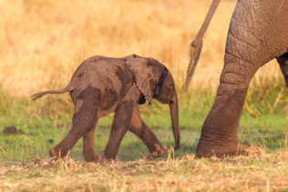 A wildlife photograph in color shows a gorgeous African elephant calf that follows its mom. (copyright Anette Mossbacher)