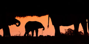 An African elephant calf is between two elephants as a silhouette — orange color of the sunset. (copyright Anette Mossbacher)