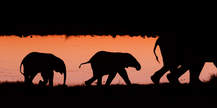 A silhouette wildlife photograph in color, two African elephant calves walk at sunset. (copyright Anette Mossbacher)