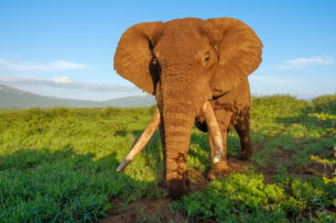 An African elephant bull shows us his enormous tusks in this color wildlife photograph. (copyright Anette Mossbacher)