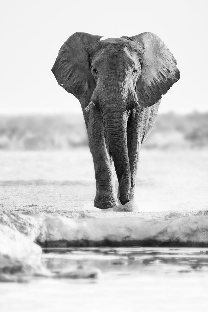 A fine art African wildlife B&W photograph shows an elephant bull walking towards the waterhole. (copyright Anette Mossbacher)