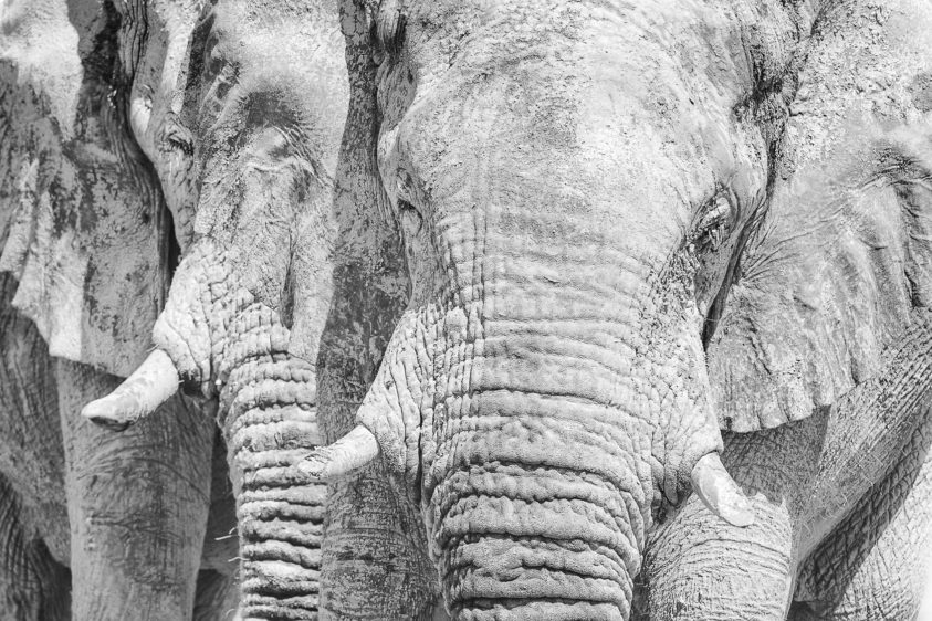 An African wildlife art photograph in B&W of two elephant heads up close and personal together. (copyright Anette Mossbacher)