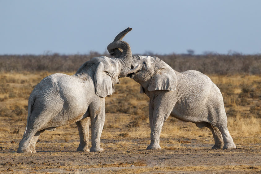 African elephant bulls are fighting, their trunks twisted. Wild animals photography (copyright Anette Mossbacher)
