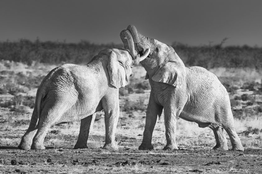 A black and white wildlife fine art photograph of an African Elephant bulls fight. (copyright Anette Mossbacher)