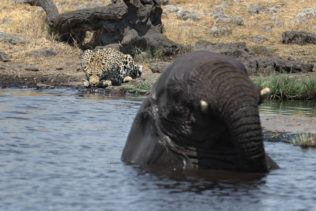 African leopard, Panthera Pardus), African elephant, Loxodonta Africana, together waterhole. Leopard drinks water behind the elephant. The elephant is in the water up to its head. Etosha, Namibia (copyright Anette Mossbacher)