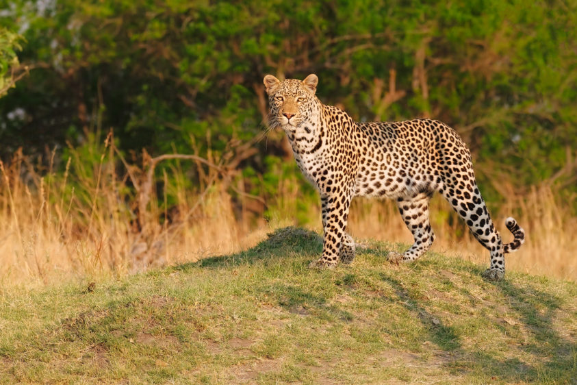 A wildlife photograph in color shows an African leopard standing on a hill looking into our eyes. (copyright Anette Mossbacher)