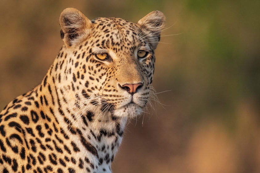 A wildlife photograph in color shows an African Leopard portrait. The animal is scanning the area. (copyright Anette Mossbacher)