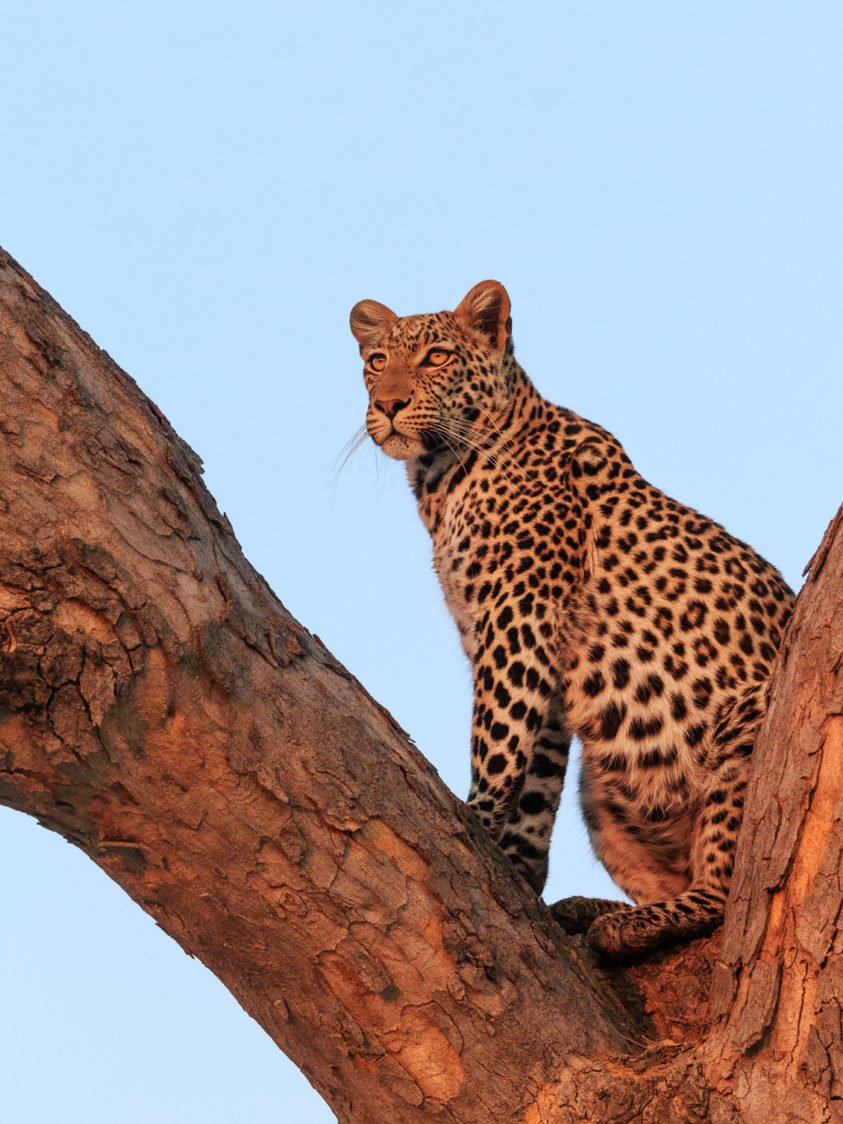 An elusive African leopard is sitting in a tree at sunset in this wildlife photograph in color. (copyright Anette Mossbacher)