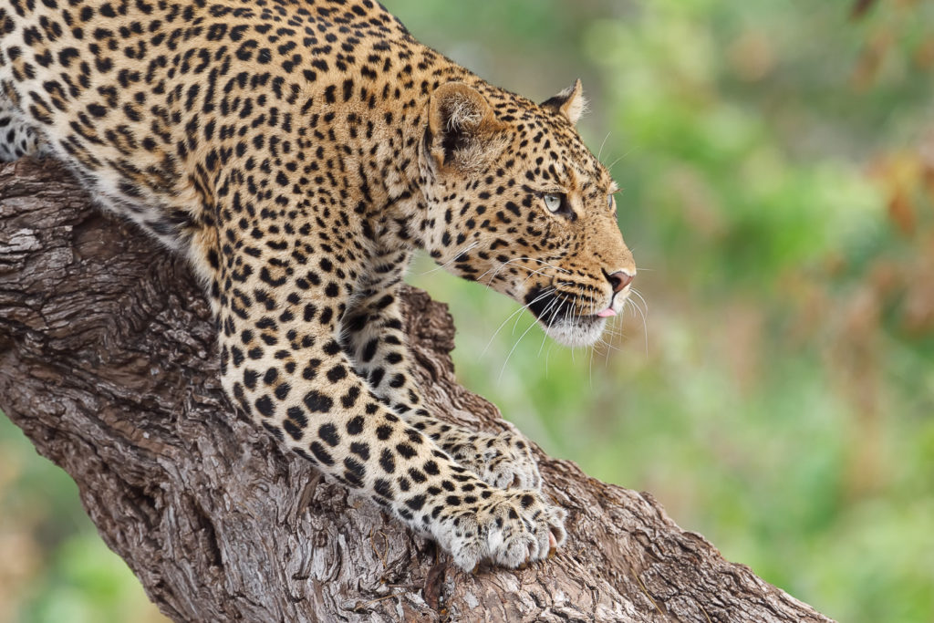 An elusive African Leopard stalks down a large tree trunk in this wildlife photograph. (copyright Anette Mossbacher)
