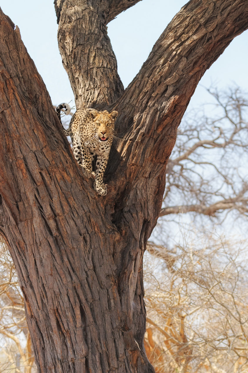 An African Leopard is standing in a tree fork in this wildlife photograph in color. (copyright Anette Mossbacher)