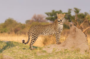 The elusive African leopard is standing next to a termite hill while slightly looking back. (copyright Anette Mossbacher)