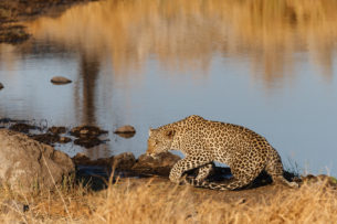 African leopard in stealth position as it has its front left paw raised. With its eyes fixed on prey (copyright Anette Mossbacher)
