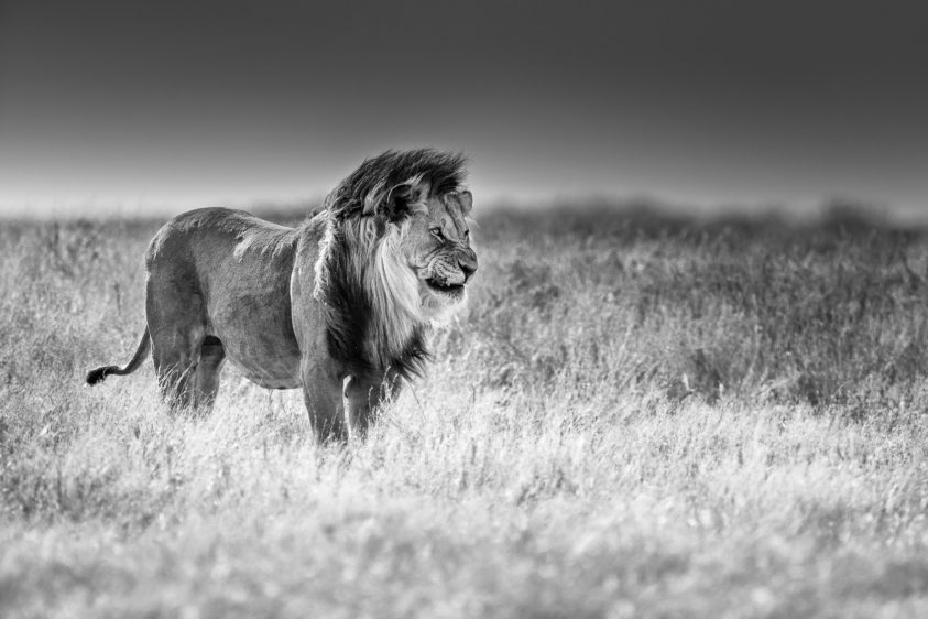 An African lion B&W fine art photograph shows the impressive predator standing in grassland. (copyright Anette Mossbacher)