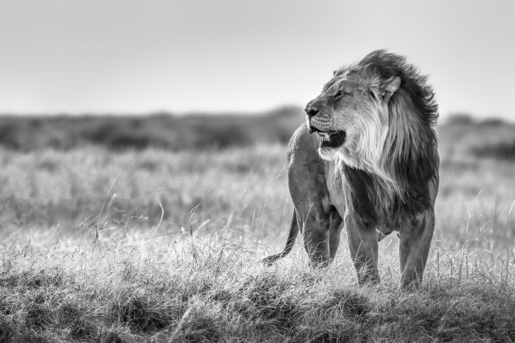 Fine art African Lion photograph in B&W. A limited edition print of a majestic male lion. (copyright Anette Mossbacher)