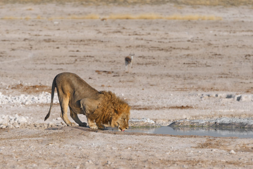A beautiful African lion drinks water at a waterhole in this color wildlife photograph. (copyright Anette Mossbacher)
