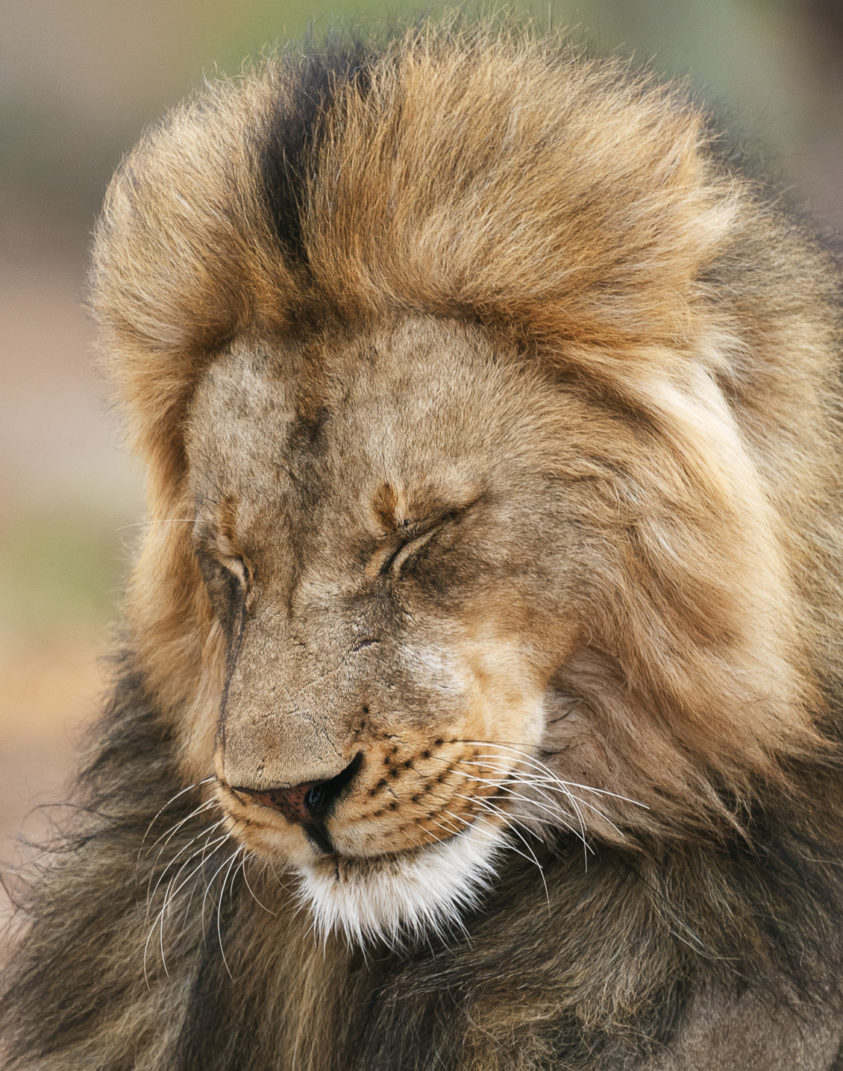 Wildlife photograph features an African lion portrait with his golden mane with black stripe. (copyright Anette Mossbacher)