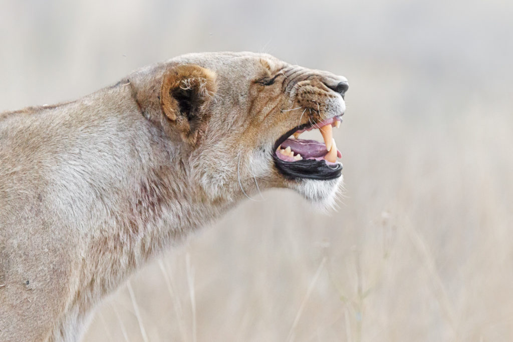 A wildlife photograph shows an African lioness showing her impressive large teeth. (copyright Anette Mossbacher)