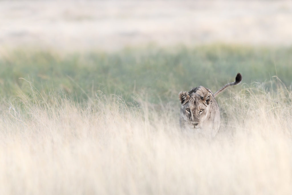 A lioness stalks through the grass in this color fine art wildlife photograph. (copyright Anette Mossbacher)