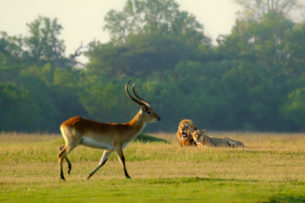 The lions watch, the lechwe gradually passing to the right in this photograph. Lechwe is in the front. (copyright Anette Mossbacher)