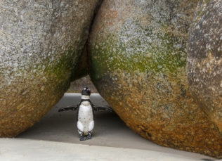 That adorable little African penguin between the two rocks welcomes you to its home at the boulders. (copyright Anette Mossbacher)