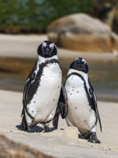 Funny African penguin couple is on a beach. Both penguins lean against each other with facial expression. (copyright Anette Mossbacher)