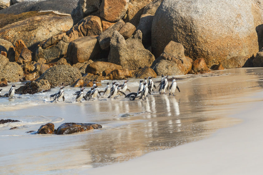 That African penguin colony is coming out of the ocean. After a long day of fishing, they came home. (copyright Anette Mossbacher)