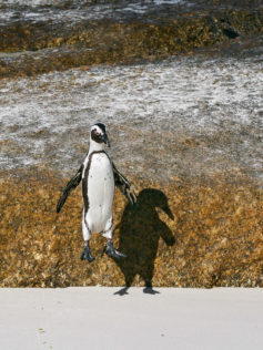 As the penguin jumps off a boulder, its body appears stiff and straight. It has its wings spread. (copyright Anette Mossbacher)