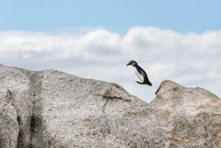 That African penguin jumps over a boulder. It looks quite peculiar as it leaps over the gap. (copyright Anette Mossbacher)