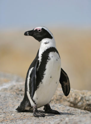 That photograph shows a loveable African penguin portrait. That African penguin stands on a boulder. (copyright Anette Mossbacher)