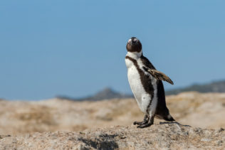 That sweet African penguin stands on a large boulder to dry off its feathers in the sun. (copyright Anette Mossbacher)