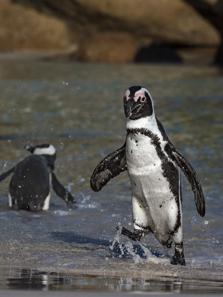 Funny African Penguin walks in the water back to the beach. You see that bird splashing water. (copyright Anette Mossbacher)