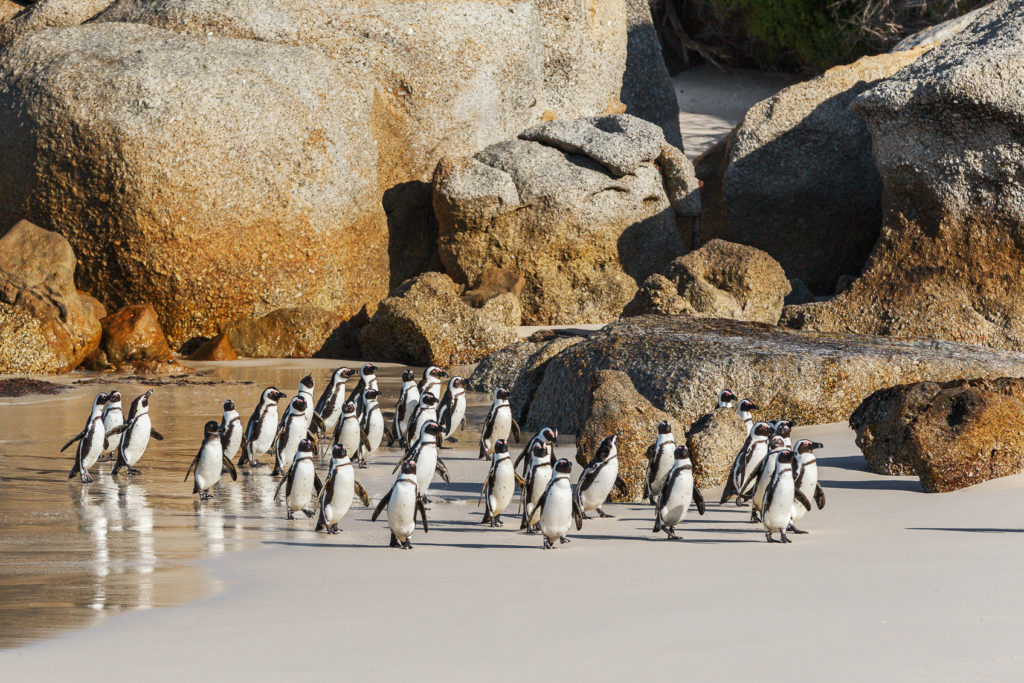 These African penguins walk on the beach. It is late afternoon, and these flightless birds arrived. (copyright Anette Mossbacher)