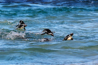 The African penguins are jumping out of the water while swimming back to the beach. (copyright Anette Mossbacher)