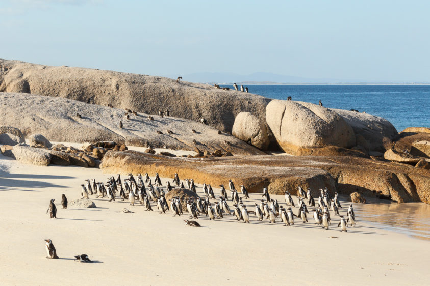 That large African penguin flock is coming on land to rest and dry their feathers on the beach. (copyright Anette Mossbacher)