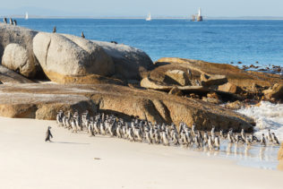 These African penguins walk on a beach while one penguin is in the front, facing the large flock. (copyright Anette Mossbacher)