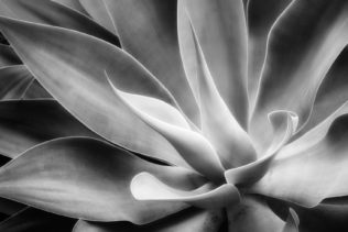 The exotic aloe vera plant as a fine art B&W photograph. A close-up from the plant's large leaves. (copyright Anette Mossbacher)