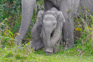 A cute Asian elephant calf with its mother is coming out of the tall grass. (copyright Anette Mossbacher)