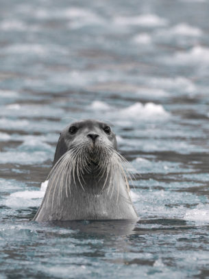 That terrific bearded seal is a feisty seal. It is sticking its head out of the water to investigate us. (copyright Anette Mossbacher)