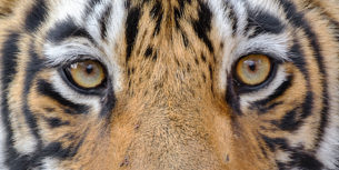 The excellent Bengal Tiger eyes looking straight into the camera in this close-up photograph. (copyright Anette Mossbacher)
